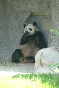 Pandas_20030519_trustee_spouse_tour_zoo_Jaslow (48).JPG.jpg