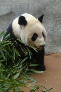 Pandas_20030519_trustee_spouse_tour_zoo_Jaslow (59).JPG.jpg